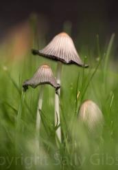 Ink Cap Mushrooms