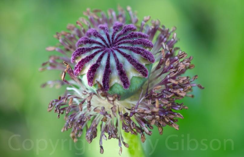 Poppy Seedhead