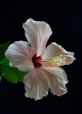 Hibiscus taken in natural light in front of a window