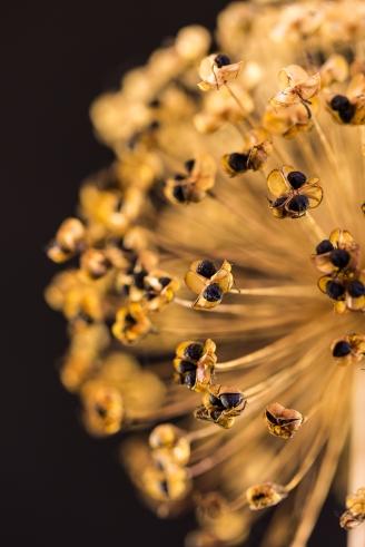 Golden Alliium Seedhead